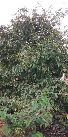 Manggis komoditas unggulan desa